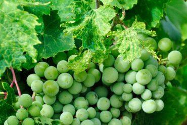 La cure de raisin: top ou flop?
